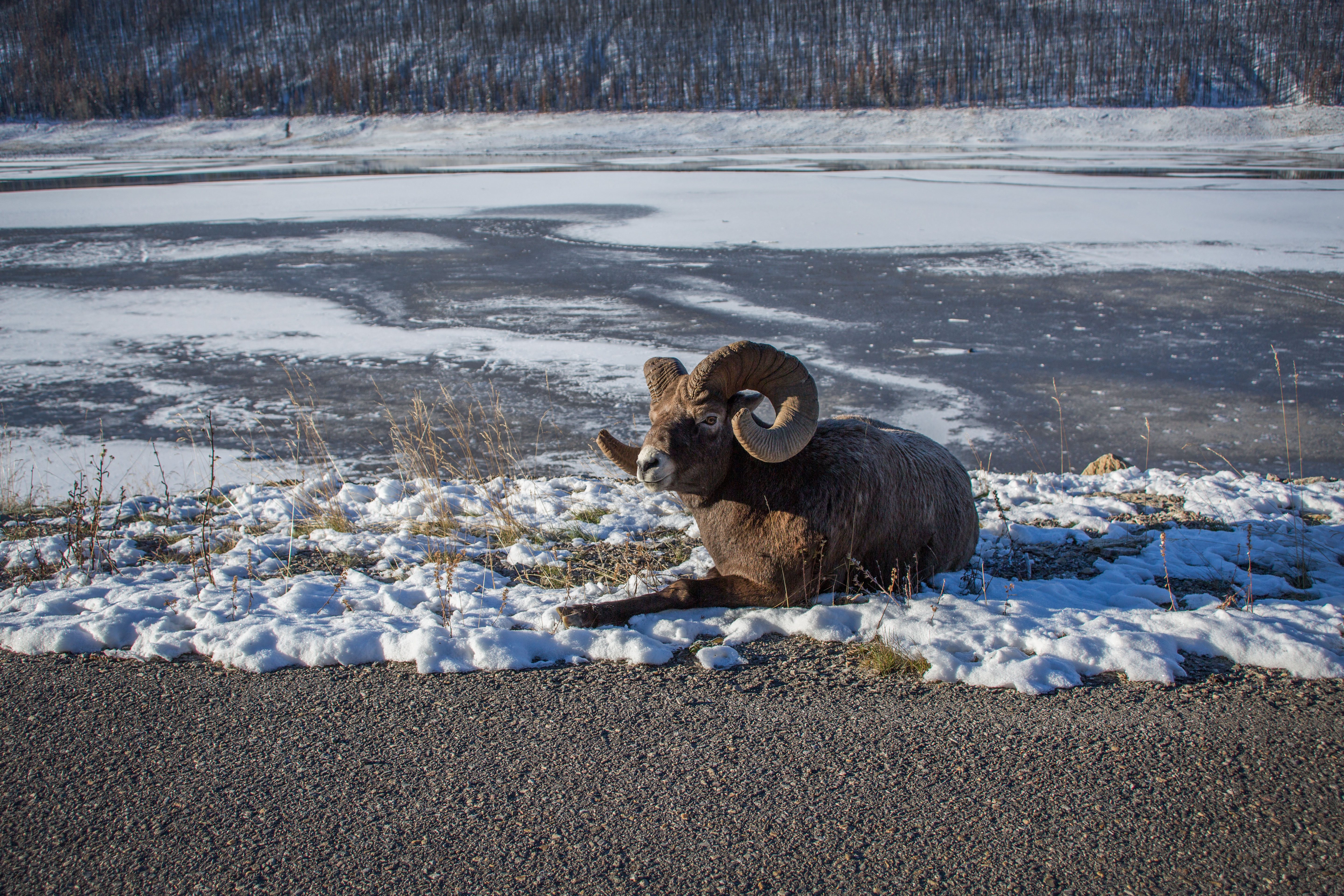 alberta, winter, Canadian winter, Bighorn sheep